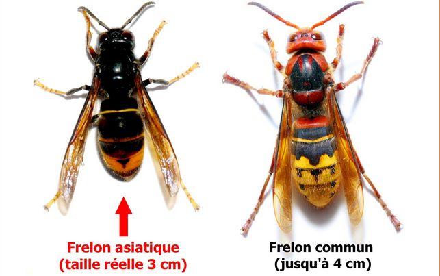 Frelon asiatique et frelon commun